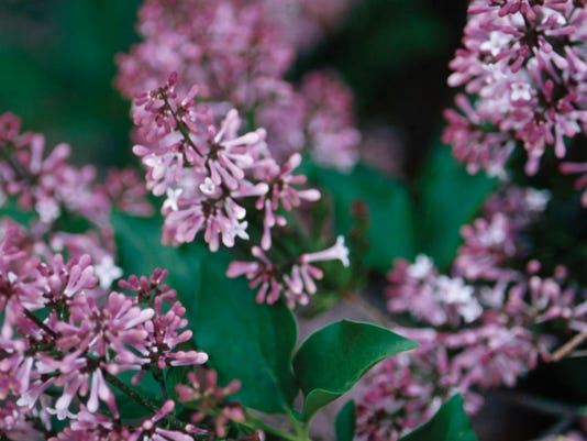 -Syringa Miss Kim Bloom2.jpg_20141020.jpg