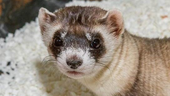 Two Bit the black-footed ferret