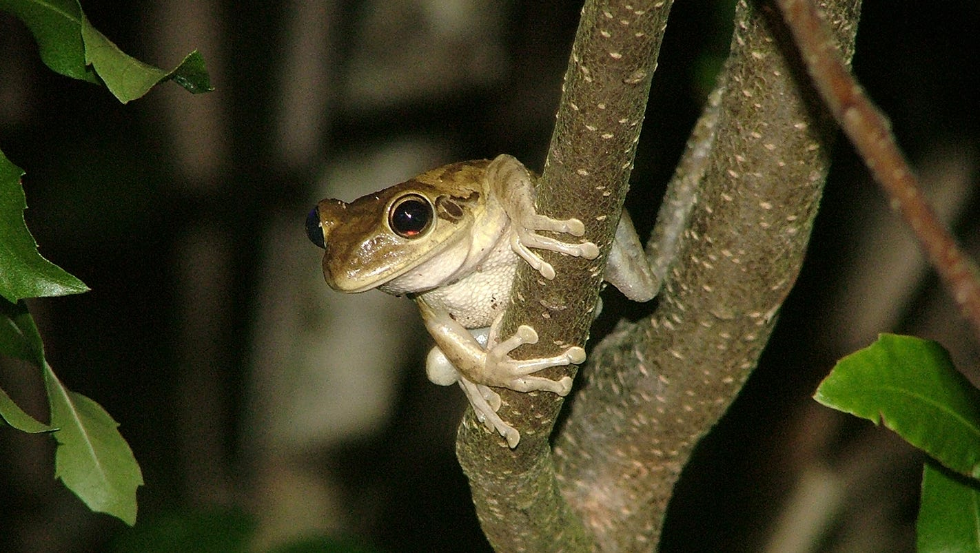 cuban tree frog invasive species takes over resident u0027s yard