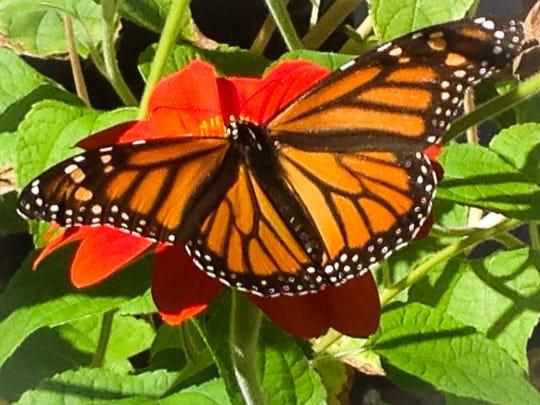 Planting native milkweed keeps monarchs healthy.