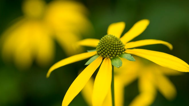 Spring brings wildflower walks. Above is a coneflower along the Appalachian Trail.