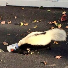 A photo provided by the Oxford (Ohio) Police Department shows a skunk with a beer can stuck to its head.