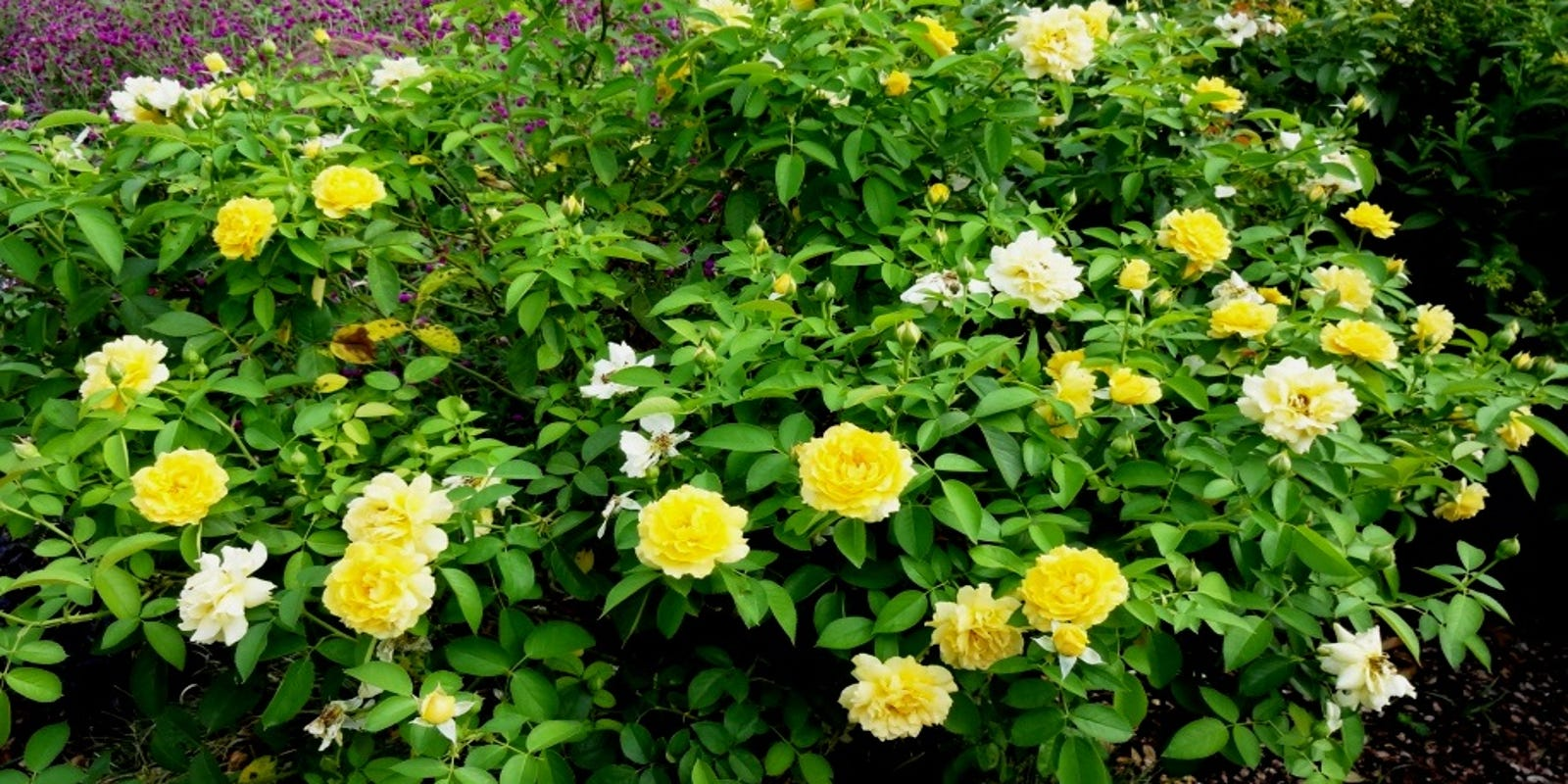 Care Now Will Improve Fall Roses