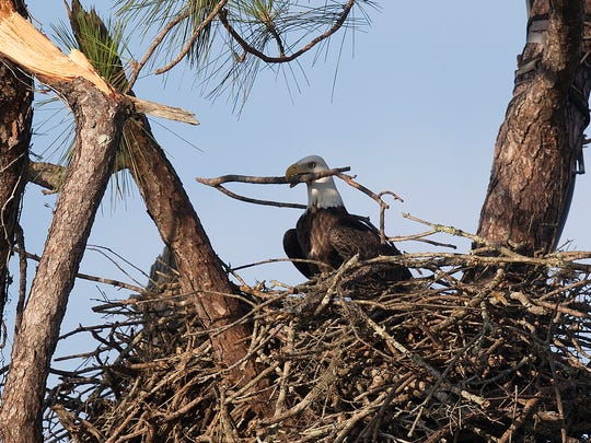One of the famous eagles from Dick Pritchett Real Estate in North Fort Myers moves around nesting material on Friday. The nest made it through Hurricane Irma relatively unscathed.
