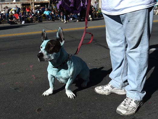 Gage the blue dog is seen during the Nevada Day parade