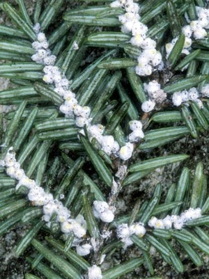 The hemlock woolly adelgid produces a covering of wool-like wax to protect itself and its eggs from enemies and prevent them from drying out.