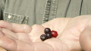 Huckleberries are early this year.