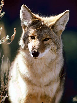 Coyotes can be now be hunted year-round in Michigan, after approval by the state Natural Resources Commission.