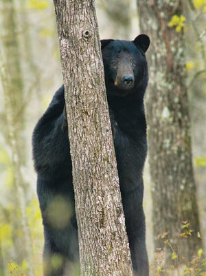 A black bear in Webster County.
