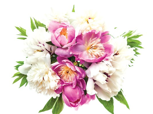 Peony flower bouquet isolated