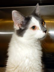 Sasha is a 10-month-old, spayed, female gray and white