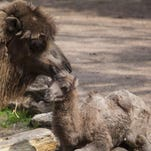 The newest baby camel at the Chicago zoo got a great name.