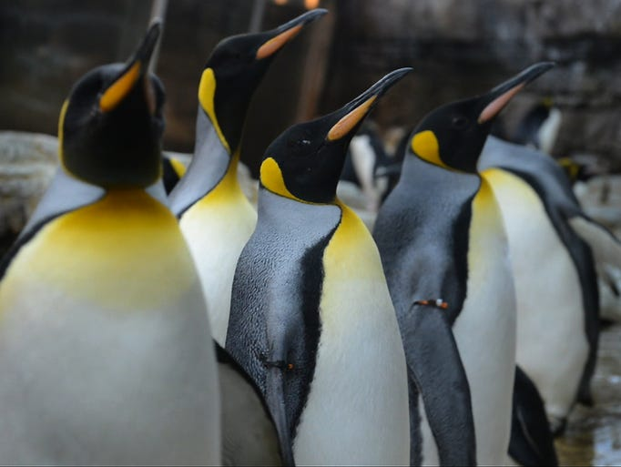 The Detroit Zoo's 83 penguins soon will be moving to