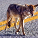 Coyotes control rodent populations and prey on raccoons and opossums.