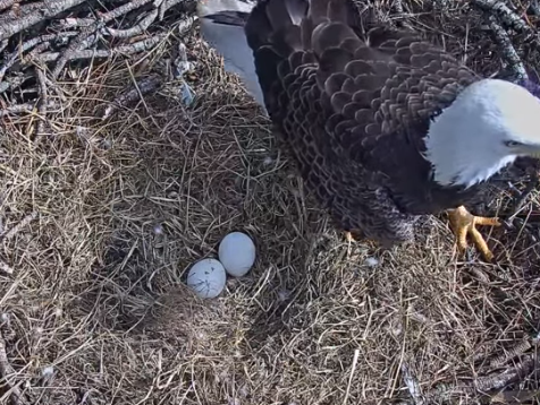 Information on a website streaming the incubation of two eagle eggs in a North Fort Myers nest places the hatching of one of the eggs as imminent and the other as within four days.