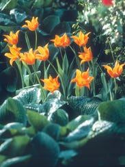 Lily-Flowered Tulip Plant tulips and other spring bulbs