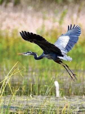 A great blue heron soars above wetlands at the William L. Finley National Wildlife Refuge near Corvallis.