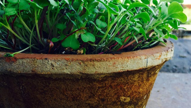 You can use any salad greens, leafy vegetables, herbs or edible flowers for your microgreen garden.