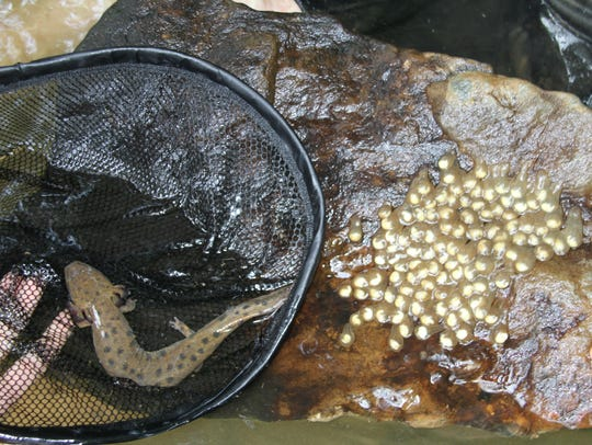 A mudpuppy mom stays close to her eggs, which are attached