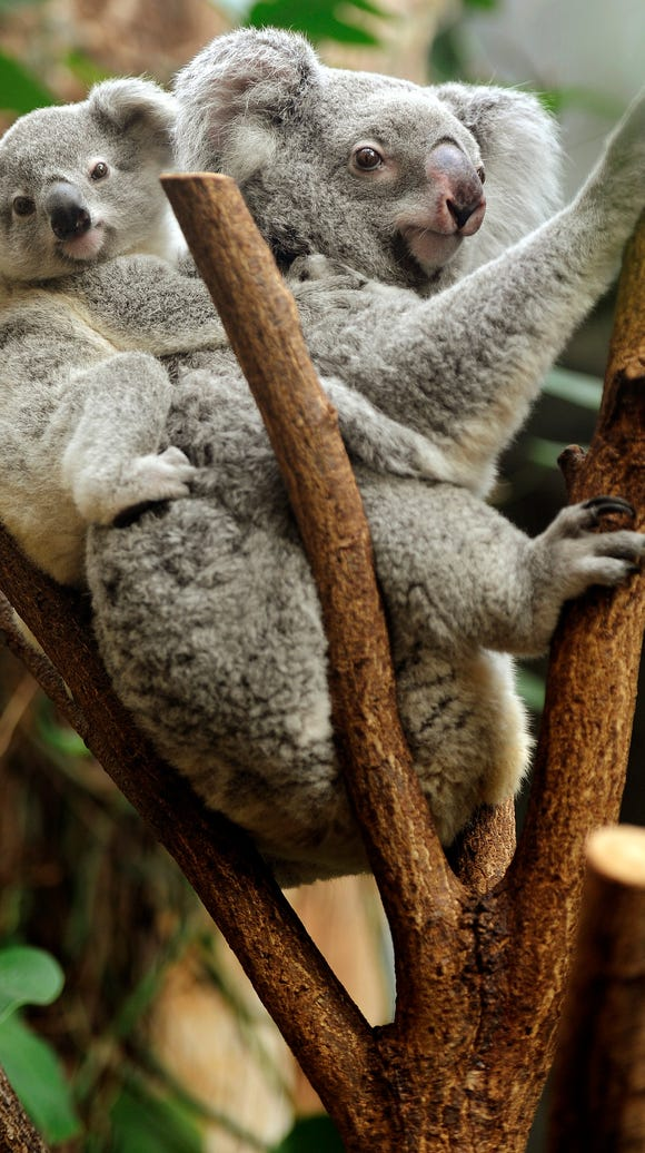 A young koala sits on the back of its mother in their