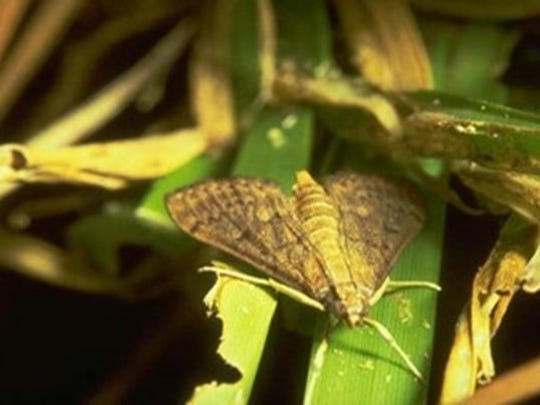 Moth that lays eggs which turn into larvae which eat the turfgrass.