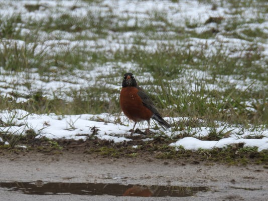 636572422299593023-robin-and-snow.JPG