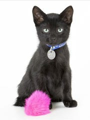 Moe, 3-month-old male domestic short hair kitten. No.