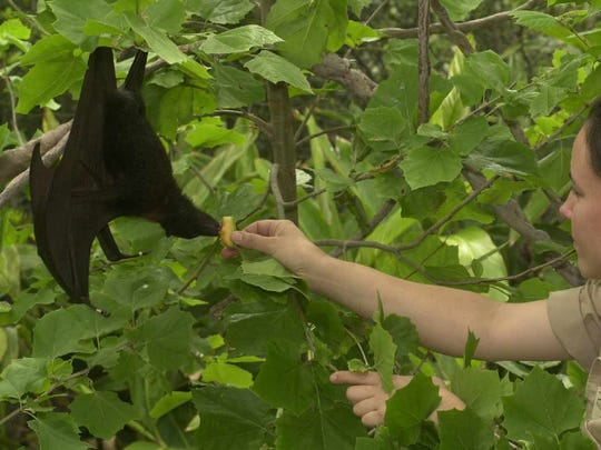 A keeper at Brevard Zoo tends to one of eight fruit bats in this 2001 file photo.