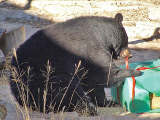 Maggie the black bear at the Living Desert Zoo and