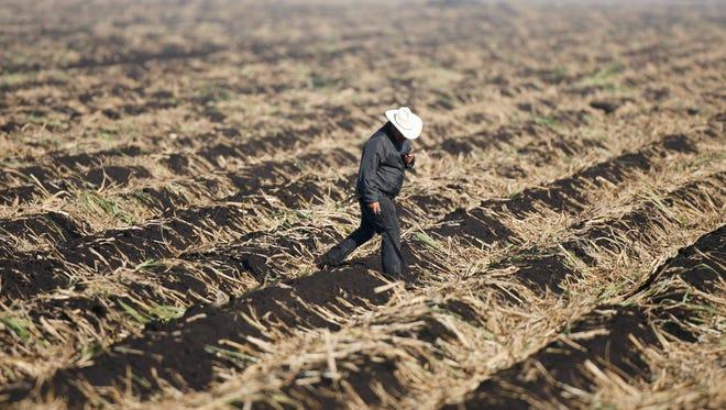 A supervisor checks a sugar cane field near Belle Glade,  Fla.