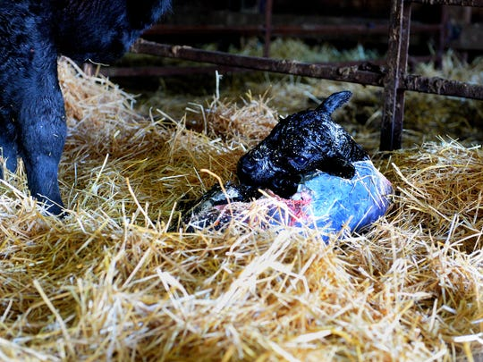 A newborn calf is only moments old at the Darlington Midway Ranch south of Big Sandy.