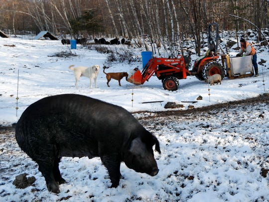 In this Thursday, Dec. 8, 2016, photo Susan Frank prepares to feed her mulefoot pigs at Dogpatch Farm in Washington, Maine. The rare breed enjoys open pasture and woodland at the small farm in rural Maine. Frank says it may sound counterintuitive, but the way to save declining breeds of livestock is to get people to eat them, thereby increasing demand for them.