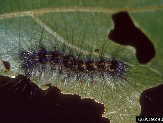 1- Larva