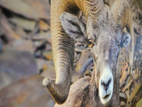 """""""This is a great  picture of a bighorn,"""" Benefis CEO John Goodnow says of the Paul Daniels photograph that decorates a wall at Benefis."""