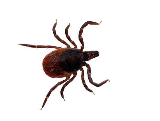 Black legged deer tick isolated - Ixodes scapularis