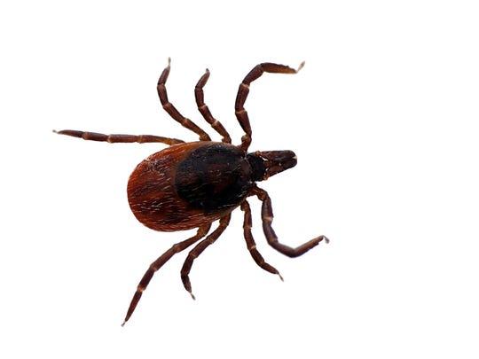 Blacklegged deer ticks carry Lyme disease