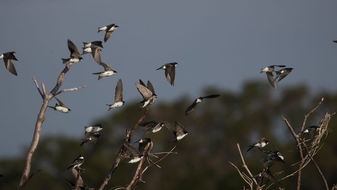Tree Swallows take flight along Lake Kissimmee in early February.