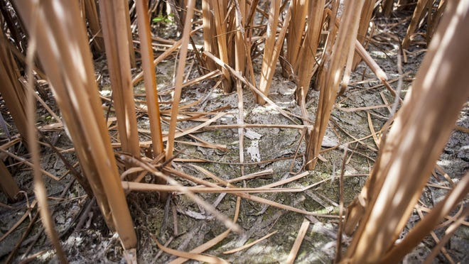 Dry cattail stalks stick out of cracked land in a unit once open for waterfowl hunting at Benton Lake National Wildlife Refuge. The refuge did not have sufficient water to flood three units traditionally open to hunting.