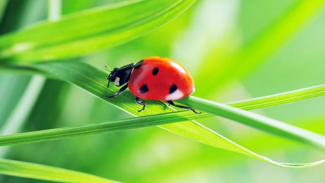 Most people like ladybugs but farmers love them because they eat aphids and other plant-eating pests. One ladybug can eat up to 5,000 insects in its lifetime.