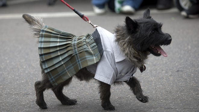 A dog is dressed for St. Patrick's Day last year in Old Town. Fort Collins was ranked 5th on a list of US cities for most Irish dog names by Rover.com