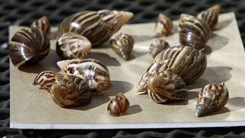 This file photo shows a collection of giant African land snails in Miami. The Giant African Snail eats buildings, destroys crops and can cause meningitis in humans. But some people still want to collect, and even eat, the slimy invaders. The Department of Agriculture is trying to stop them. Since June, USDA has seized more than 1,200 of the large snails, also known as Giant African Land Snails, all of them traced back to one person in Georgia who was illegally selling them.