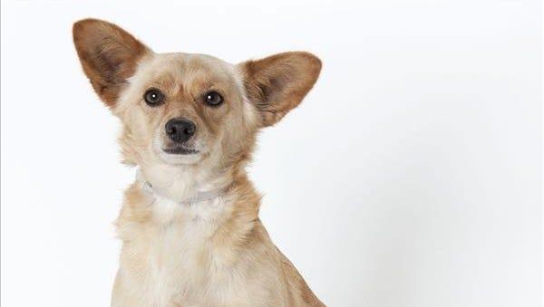 Arnold, a 5-year-old male Chihuahua/Corgi mix dog. No. 67013.