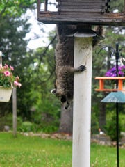 A raccoon flees a bird feeder after spotting movement inside the home.