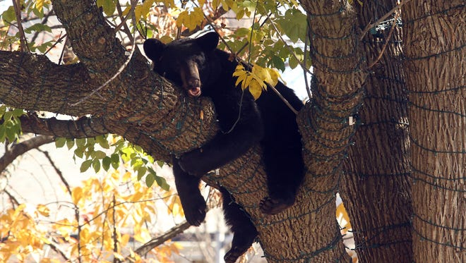 A black bear in a tree drew lots of attention on the Morristown Green last month after climbing up a tree and falling asleep. Police cordoned off the area and the Division of Fish and Wildlife came and got the bear down safely with the help of a Morristown Fire Department ladder truck bucket. October 26, 2015, Morristown, NJ.