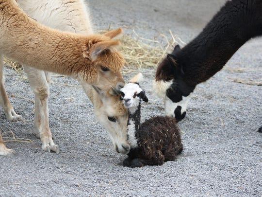 Bandit and the other alpacas are in the interactive Critter Encounters exhibit at the Nashville Zoo.