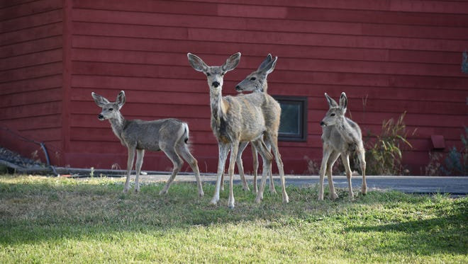 A group of deer in the front yard of a house in Lander, Wyoming. Silverton City Council is considering solutions to address its deer population.