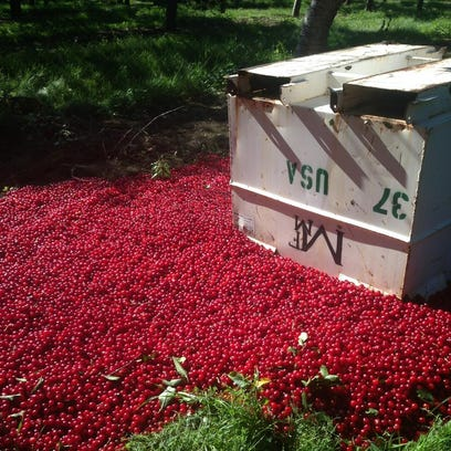 Cherries lay on the ground at Santucci Farms in Traverse