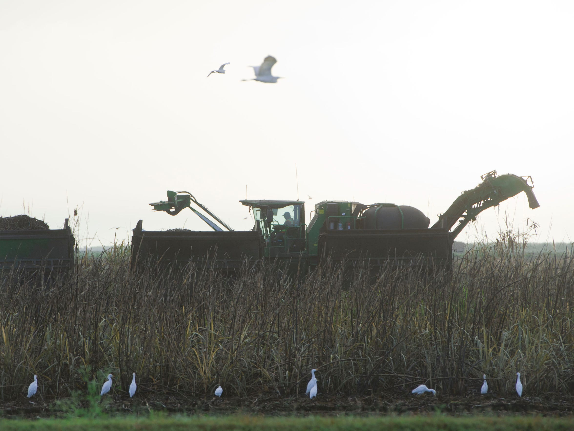 Sugar cane is harvested Feb. 28, 2017 near the Sugar