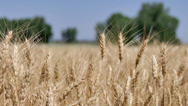 Martin Kerschen's wheat field in Reno County, Kansas on June 17, 2020.
