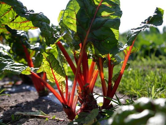 Swiss Chard grows in abundance at Drew Farms in Detroit